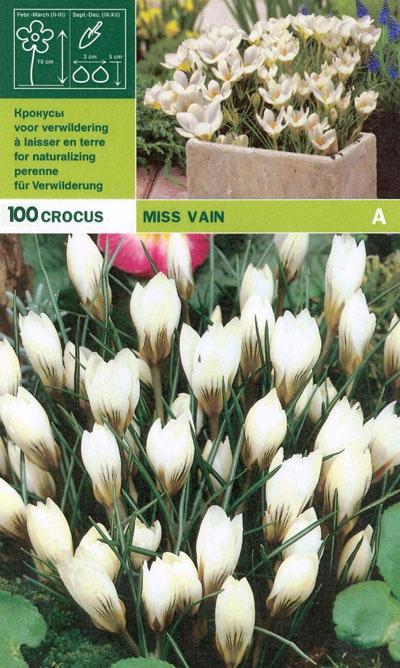 Krokus  'Miss Vain', Storpack:   (Crocus)   Vit botanisk krokus. Blommar i mars-april och återkommer varje år. Finast i grupper, gärna i glest gräs eller under träd och buskar. Vill växa i ett soligt läge med väldränerad jord. Förökar sig om den lämnas ifred. Härdig i större delen av landet. Lökstorlek 5/7. 100 lökar.
