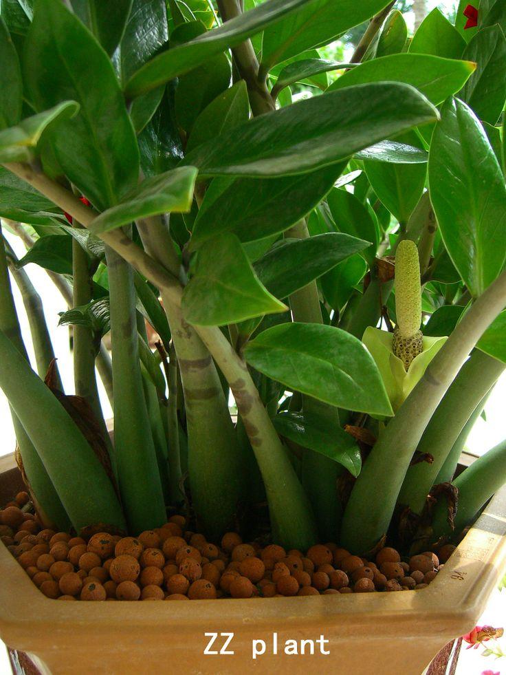 9 best zeze plant images on Pinterest | Houseplants, Indoor plants ...