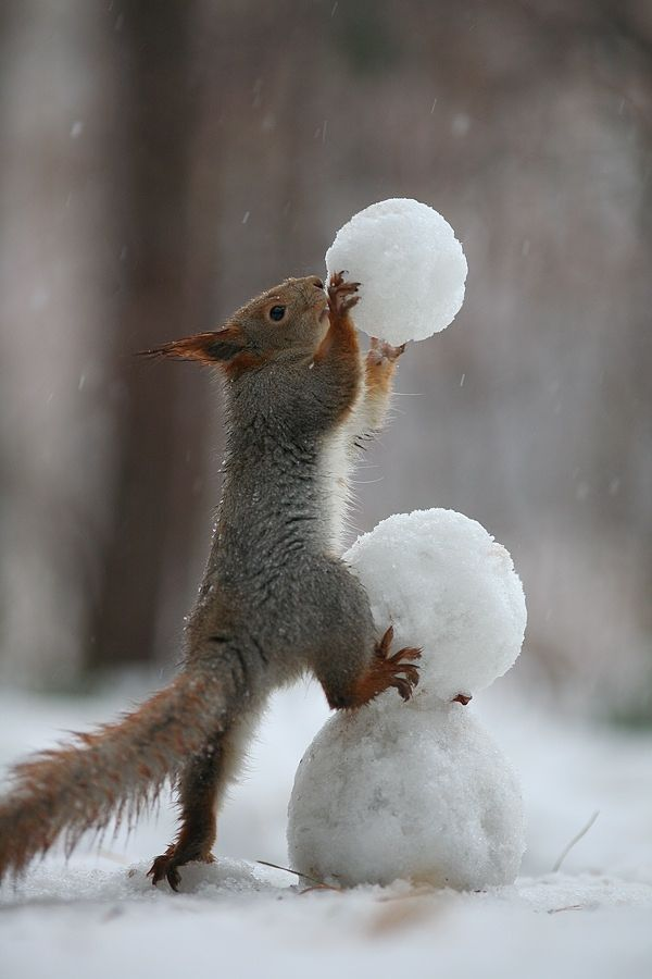 """Squirrel:  """"Humans, please don't think you have the monopoly of building snowmen ~ many of us animals know how to do it too ~ including me!"""""""