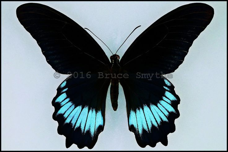 "Papilio Mayo(Andaman Mormon) -Male -Nikobar Islands, India -(5 in wingspan).  This is a Very Rare butterfly which is endemic to the  ""Andaman and Nicobar Islands Union Territory"" of India."