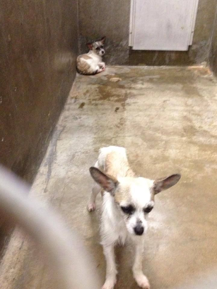 Still There!!!!!!((PLEASE HELP THESE 2 GIRLS!)) THE SHELTER CONDITIONS ARE DEPLORABLE!  Both are Chihuahua/Terrier mix females 1-2 years old.  Kennel #A27. Available NOW!!! **$51 to adopt. Located at Odessa, Texas Animal Control. If you have any questions regarding animals in this shelter, you may call 432-853-2639 (Robyn Cody). PLEASE DO NOT CONTACT THE SHELTER! They will not answer any questions regarding an animal over the phone.