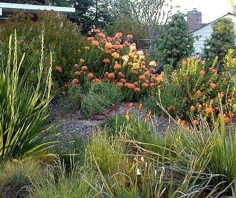 Fynbos garden -