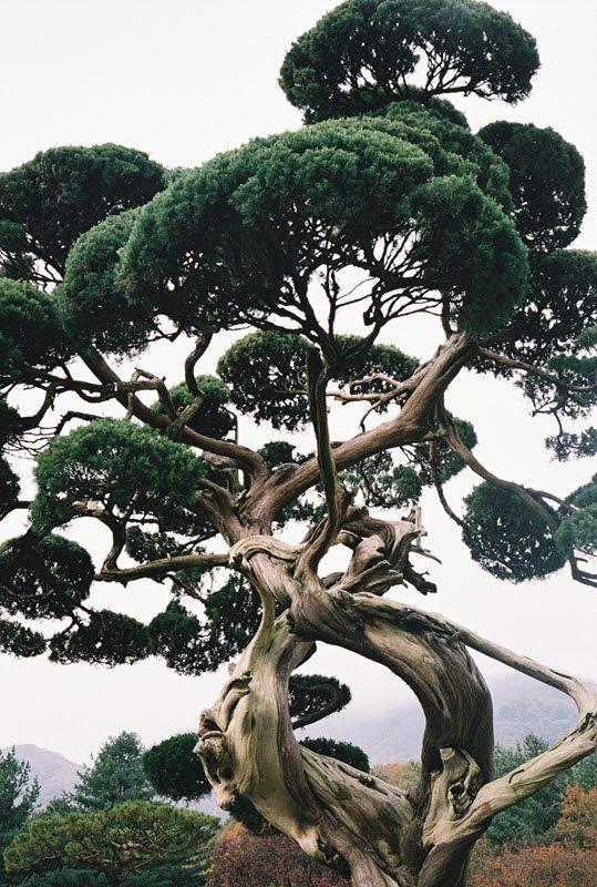Pine tree by Damon Kim, 2013