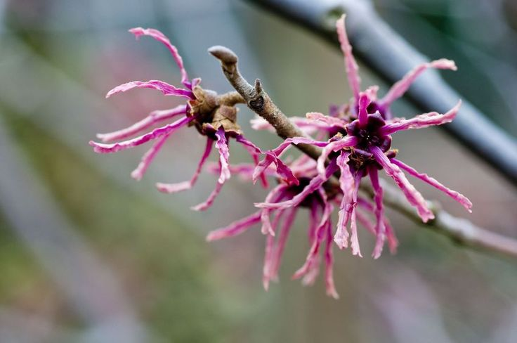 Schöner Winterblüher, Vorfreude auf den Frühling Gartenzauber | #Zaubernuss - Gartenzauber