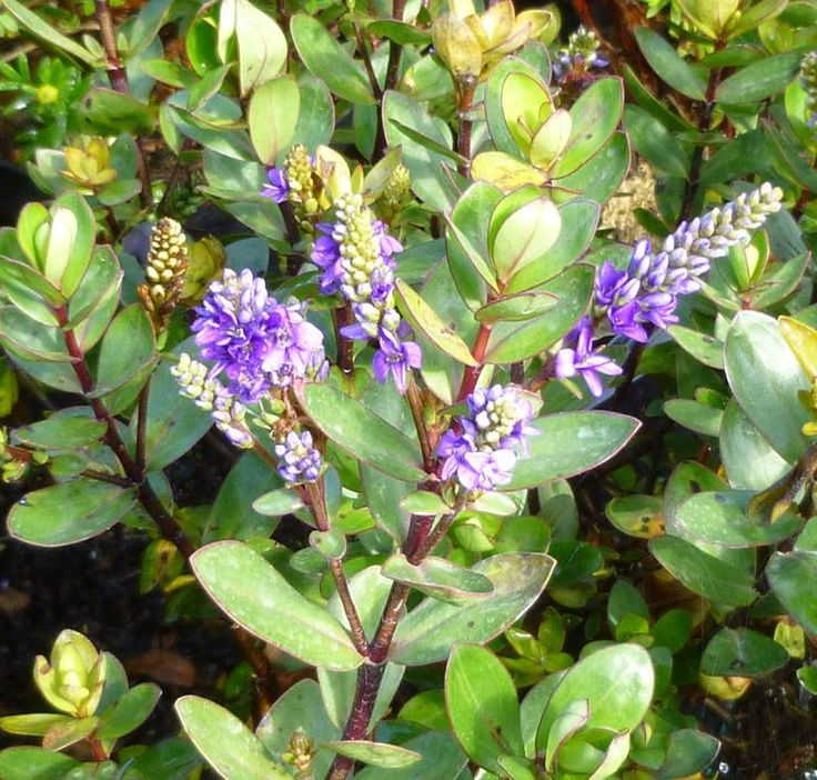 Buy Hebe Autumn Glory (Shrubby Veronica) online from Jacksons Nurseries