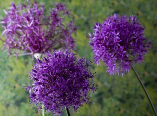 30 Types Of Blue Purple Flowers For Our Garden Beautiful HD IMAGES