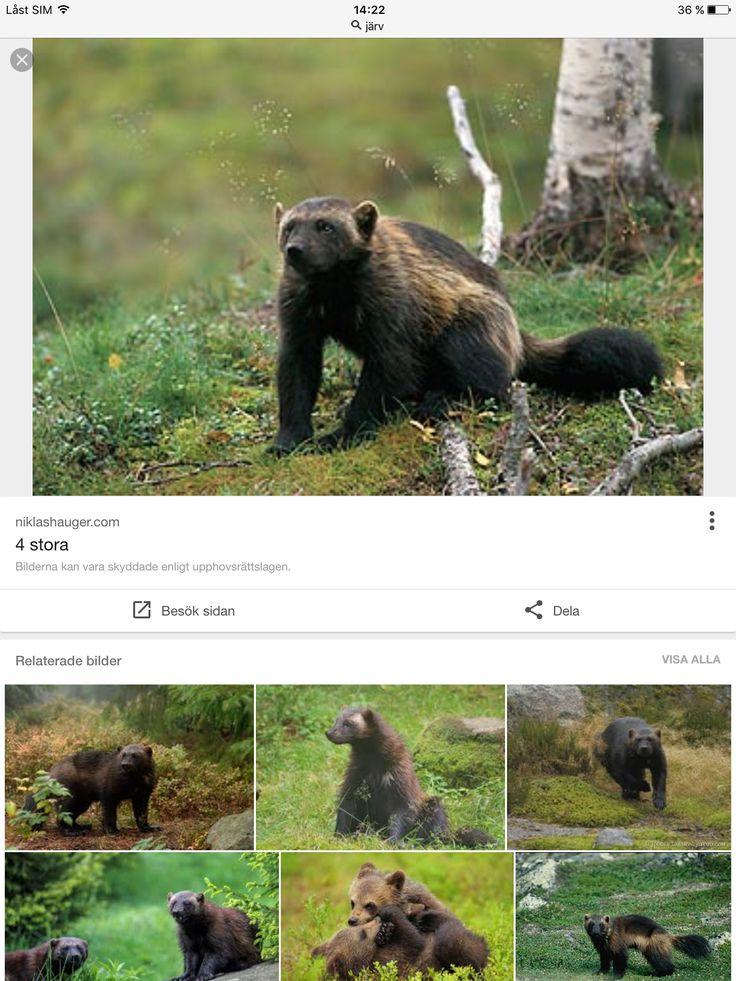Järvar är mycket skygga djur de är små.järven kan ge sig på björnar och älgar.de kan klättra bra i träd, och ifall om det fins mat gillar dem att klättra