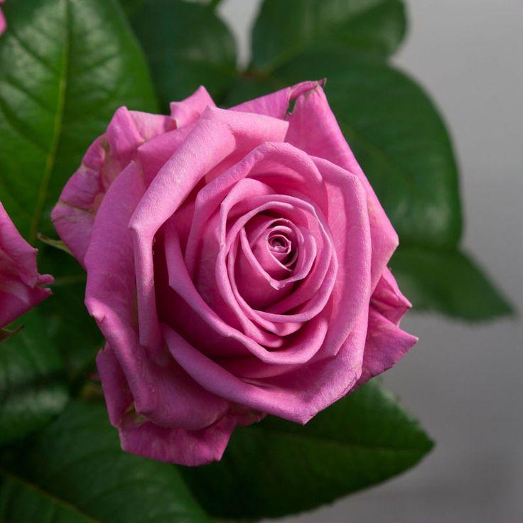 Купить цветы в питомниках недорого подарок беременной на 8 марта