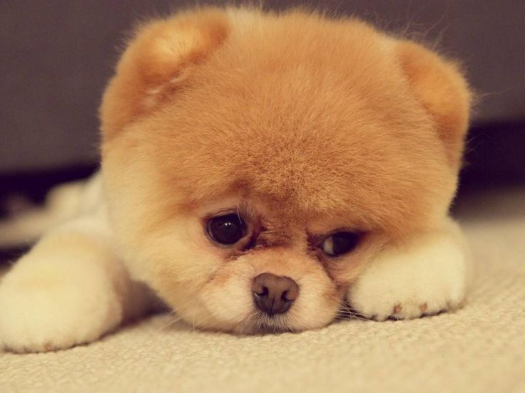 Chow Chow Puppies The Dog Wallpaper Best The Dog Wallpaper. Dogs ...
