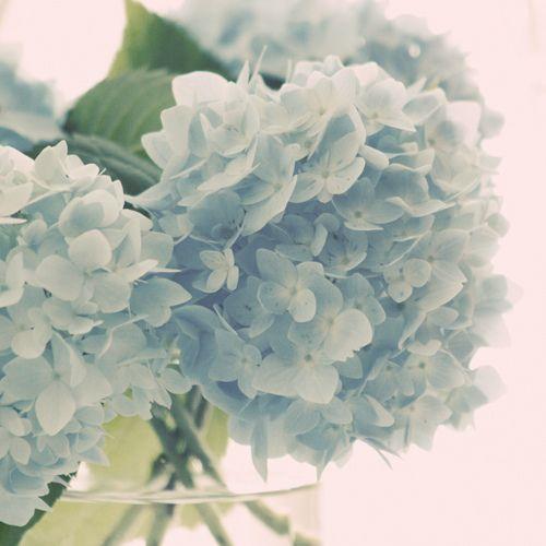 love this shade of Hydrangea