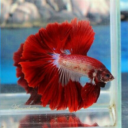 i used to have a blue beta fish like this but i died :*(