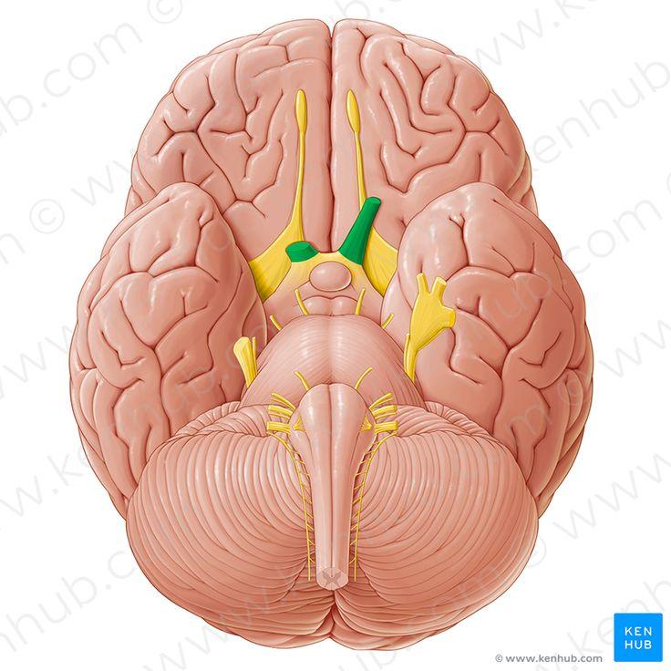 Optic nerve (Nervus opticus); Image: Paul Kim