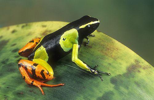 Painted Mantella Frog, Madagascar