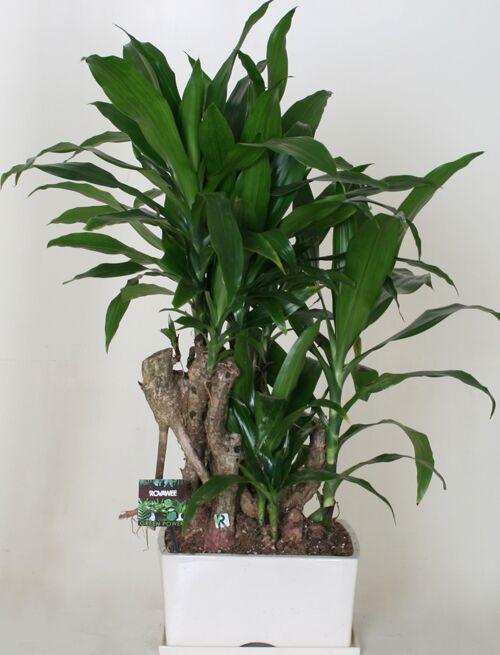 Dropbox - Green Power - Dracaena frag janet craig bonsai.jpg