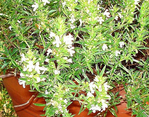 What Herbs Grow Well In A Rock Wall Herb Garden: Savory