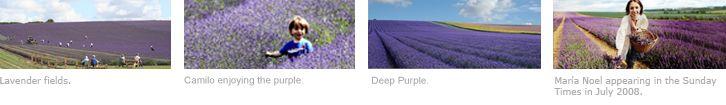 Hitchin Lavender.com   Lavender grown at Cadwell Farm