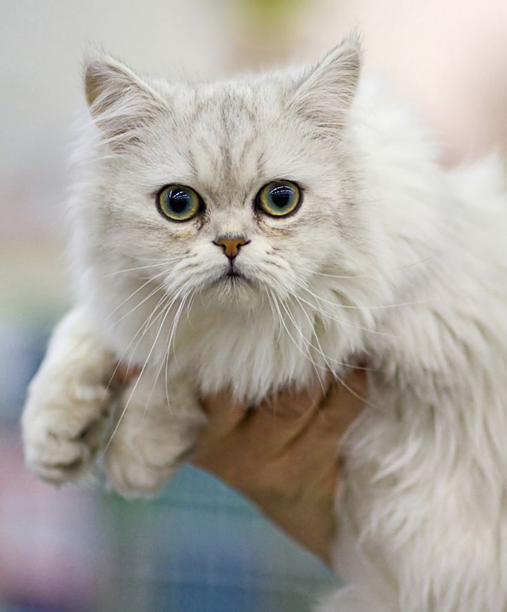Asian Semi-Long Hair Cat I just love these cute kity images! Visit our shop for fun cat apparel!