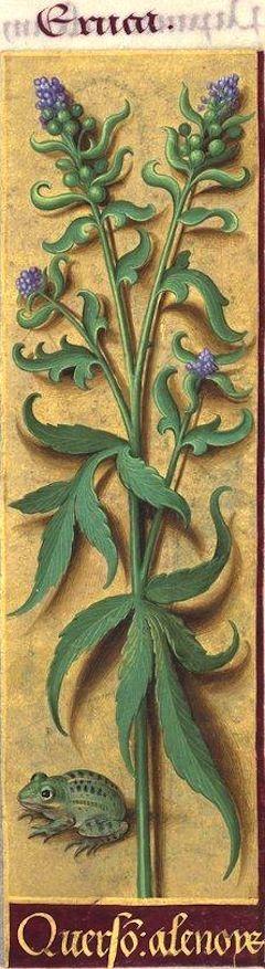 Querson alenoys - Eruca (Lepidium sativum L. = cresson alénois) -- Grandes Heures d'Anne de Bretagne, BNF, Ms Latin 9474, 1503-1508, f°98r