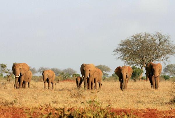 Celebre con nosotros el Día Mundial del Elefante. Visite nuestra página y sea parte de nuestra conversación: http://www.namnewsnetwork.org/v3/spanish/index.php  #nnn #bernama #elefante #elephant #noticias #celebracion #africa #usa #malasia #malaysia #cultura #fiesta #pics #kenia #kenya