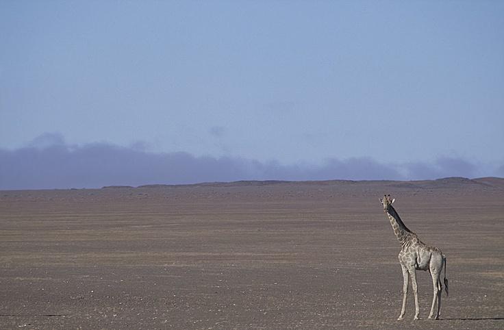 Giraffe on Namib's gravel plains - Kaokoland