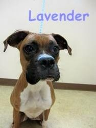 LAVENDER is an adoptable Boxer Dog in Bowling Green, OH. Adoption Policy All of our dogs are $75.00 Included in that price is a $50.00 certificate, which goes towards getting the dog spayed or neutere...