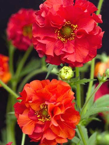 Avens Geum Selections Light: Sun Plant Height: 6 Inches To 2 Feet Tall Zones:  Plant Type: Perennial
