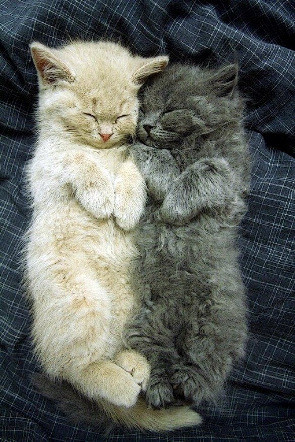 White and grey kittens snuggling.