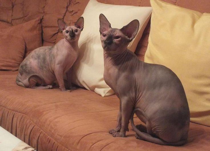 Oskar und Lotte, geb. am 6.5.2015 #canadiansphynx #geschwister #cats #katzen #nacktkatzen #sphynx #sphynxcat