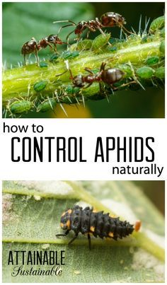 You Need To Control The Aphids AND The Ants In Your Vegetable Garden For  Natural Pest Control.
