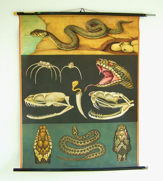 Vintage School Chart - Educational Chart - Biology Poster  - Snake Chart - Original Vintage Chart -Jung Koch Quentell