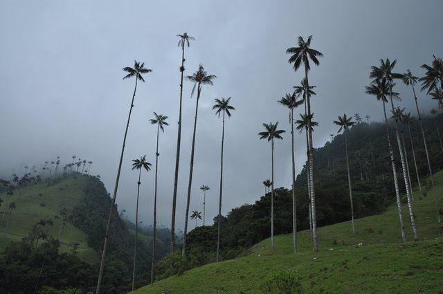 """""""We zijn de volgende dag met hen naar de Cocora vallei geweest waar we een goede dagwandeling hebben gemaakt. De vallei is beroemd om de hoge """"wax"""" palmen, die tot zo'n 60m hoog kunnen worden. De wandeling was erg mooi en kwam ook nog langs een tentje waar je warme chocomel met kaas (?) kon nuttigen."""""""