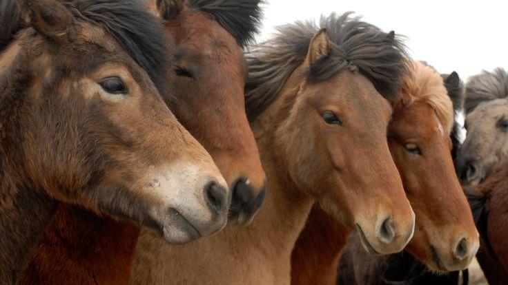 Island rejser - rideture - islandske heste - information om ridning i Island - Rideferie Island