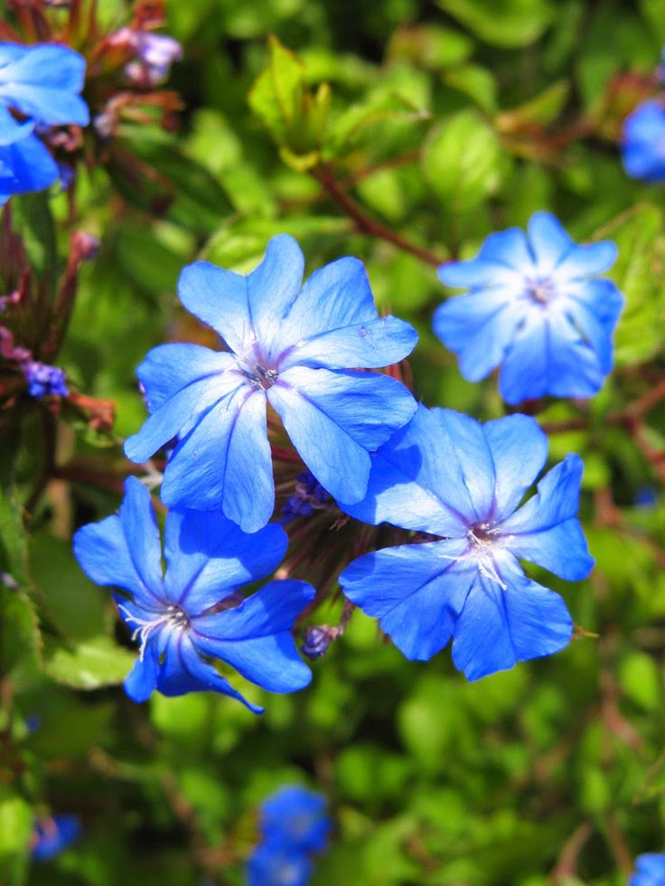 Cerato+Flores+de+Bach.jpg 800×1.066 píxeles