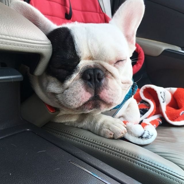 Pawpawthefrenchie Picked By Alfa Le Frenchie Love This Pix Share It To Your Story And Sp Cute French Bulldog French Bulldog Puppies French Bulldog