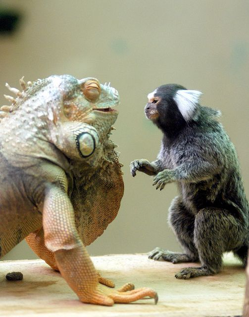 good friends...marmoset & green iguana