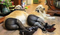 dogs wearing pantyhose is a THING in CHINA apparently