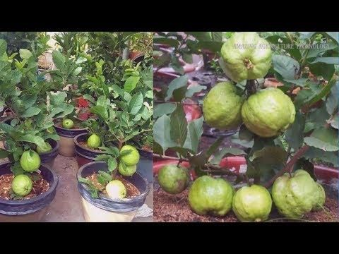 How to Plant & Grow Guava Tree Bonsai in Pot Make You