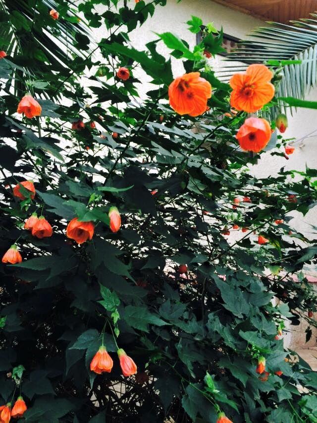 Blomsterlönn kan vara ruskigt vackra på en lite större balkong. Här ifrån Odla i P1.