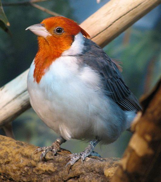 Cardeal-de-topete-vermelho