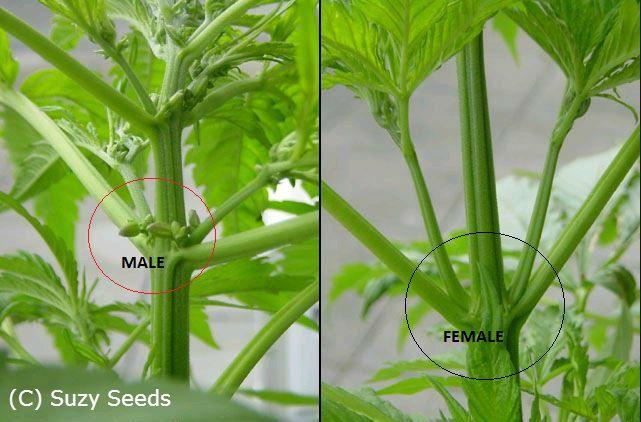 Plante mâle ou plante femelle? - Cannabis - Cultiver du Cannabis - SuzySeeds.com