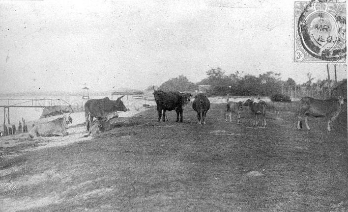 1905 - OXEN, USED MAINLY FOR PULLING CARTS, GRAZE AND REST ON THE GRASS-COVERED PARTS OF THE BEACH AT TANJONG RHU. IN THE BACKGROUND IS THE SINGAPORE SWIMMING CLUB.