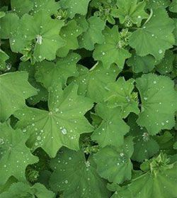 10 Great Plants for Shady Gardens: Gardener's SupplyLove this after rain.