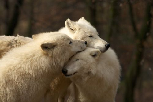 "wolfsheart-blog: "" white wolves by Tygrik """