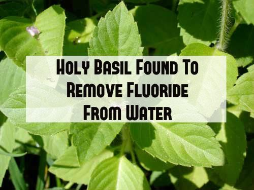 Tulsi Plant Found to Remove Fluoride from Water. 75mg leaves in 100g water removed fluoride to 'safe' levels.