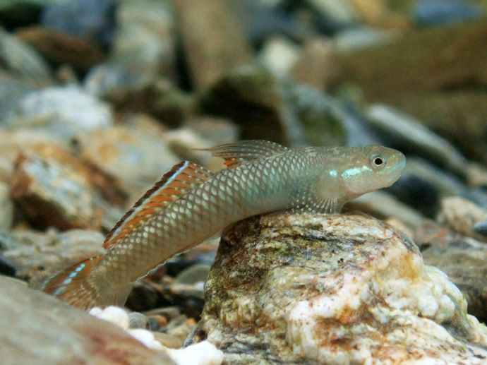 55 best freshwater gobies images on pinterest for Freshwater goby fish