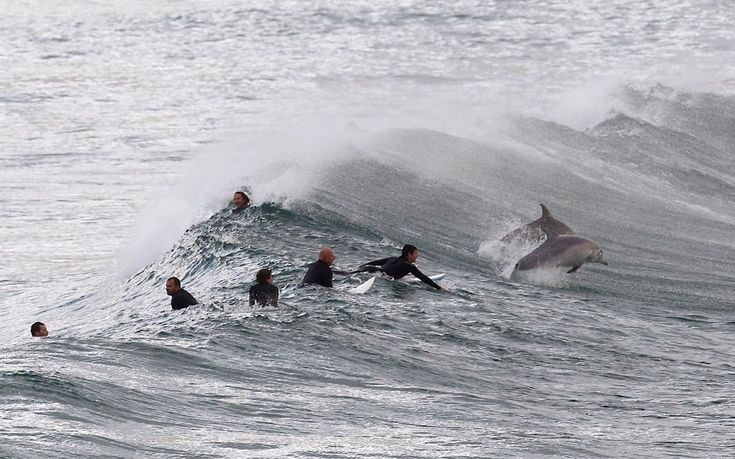 Surfing Dolphins!! Surfers wait for waves as dolphins frolic in the water at Bondi Beach in Sydney Picture: REUTERS/Daniel Munoz