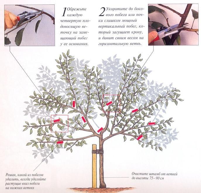 Обрезка вишни и черешни осенью. Обсуждение на LiveInternet - Российский Сервис Онлайн-Дневников