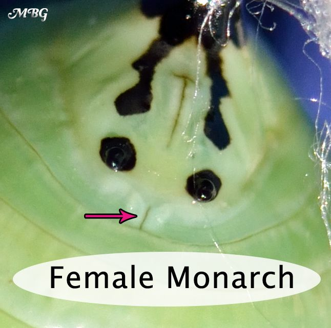 How can you tell the sex of a monarch by looking at its chrysalis?  Male vs Female Chrysalis Photos