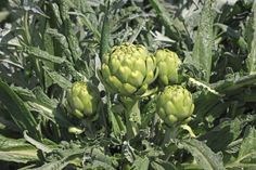How to grow artichokes in the home garden. Tips for growing and caring for artichoke plants just about anywhere and what to do with those tender, tasty buds.