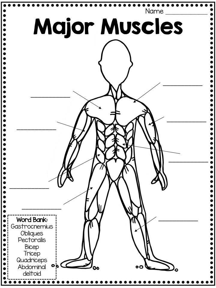 Muscular System Fact Book, Types of Muscles, Skill Pages
